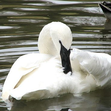 Trumpeter Swan by Trisha Shears on Flickr